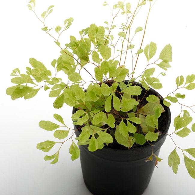 "Adiantum raddianum ""Ultragracillimum "" [ アジアンタム・ラディアナム ] 1ポット 【 パルダリウム、ビバリウムに使いやすい植物 】"