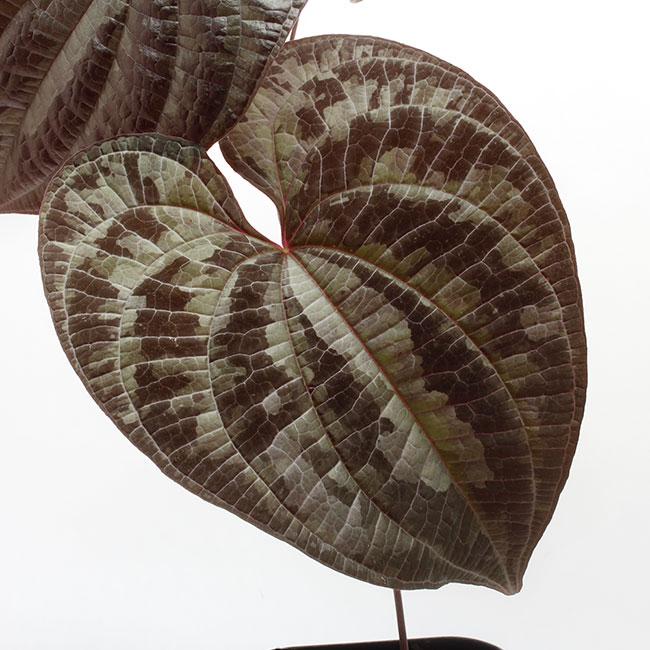 Dioscorea dodecaneura  [ ディオスコレア・ドデカネウラ ] 【 PN210704-04 】