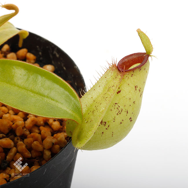 "Nepenthes ampullaria "" Spotted with Red Lip ""  [ ネペンテス・アンプラリア ] 【 PN190503-03 】"