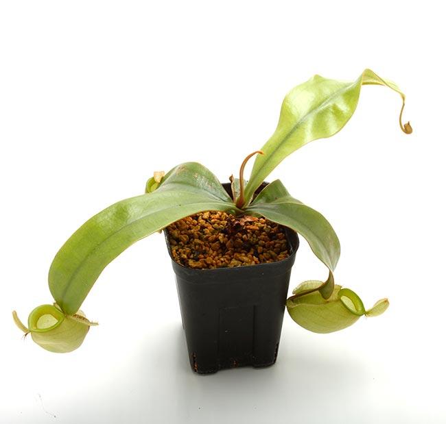 "Nepenthes ampullaria "" Green "" [ ネペンテス・アンプラリア ] 【 PN200603-06 】"