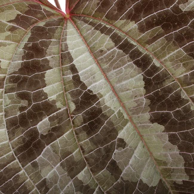 Dioscorea dodecaneura  [ ディオスコレア・ドデカネウラ ] 【 PN210704-06 】
