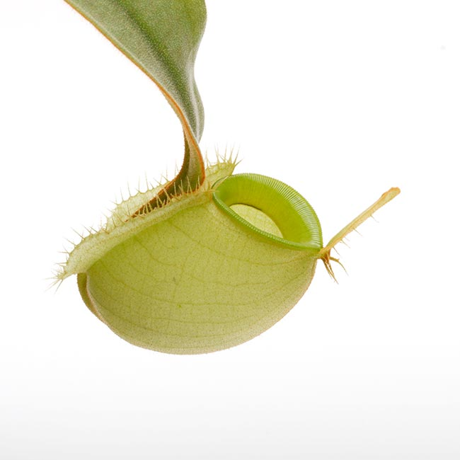 "Nepenthes ampullaria "" Green "" [ ネペンテス・アンプラリア ] 【 PN200603-07 】"
