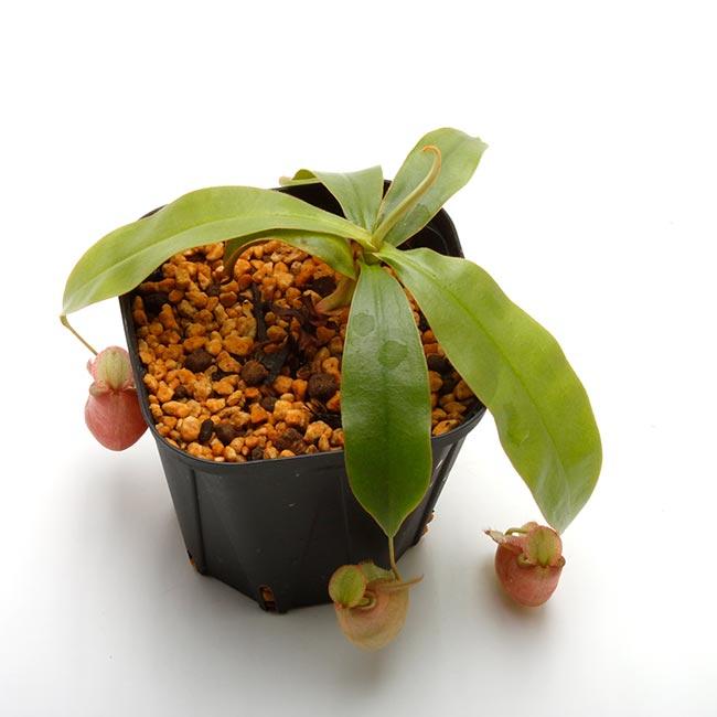 "Nepenthes mirabilis var. globosa x ampullaria "" Red with Candy lip ""  [ ネペンテス・ミラビリス var, グロボーサ × アンプラリア ""レッドウィズキャンディーリップ "" ] 【 PN200603-08 】"