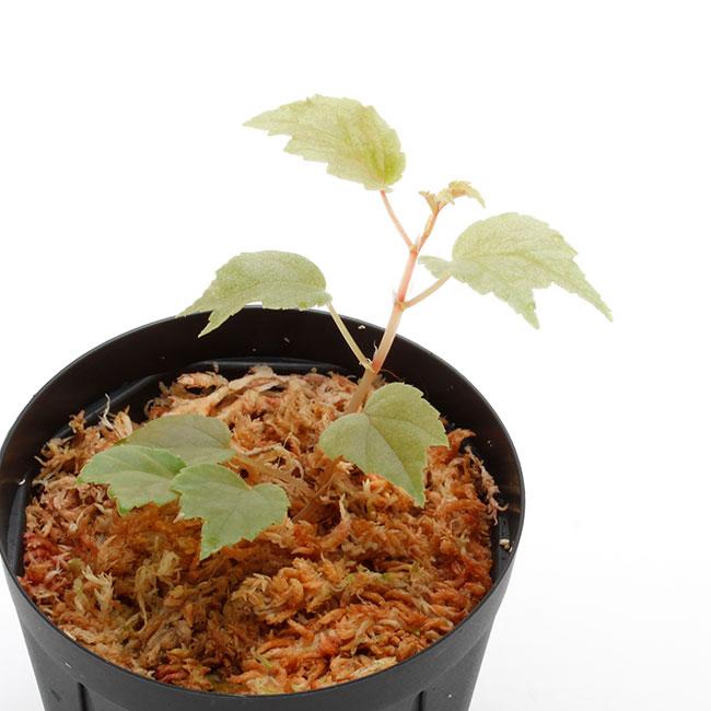 Begonia glabra [ ベゴニア・グラブラ ] 1ポット
