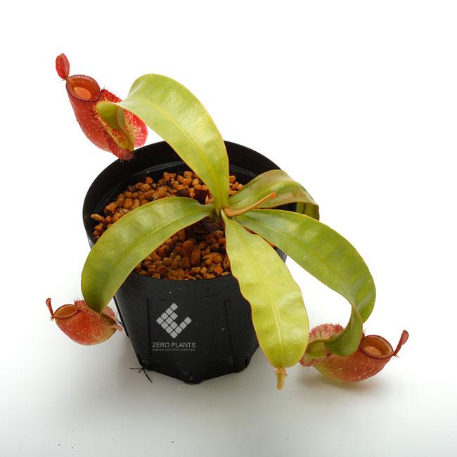 "Nepenthes ampullaria "" Red ""  [ ネペンテス・アンプラリア ] 【 PN190503-06 】"
