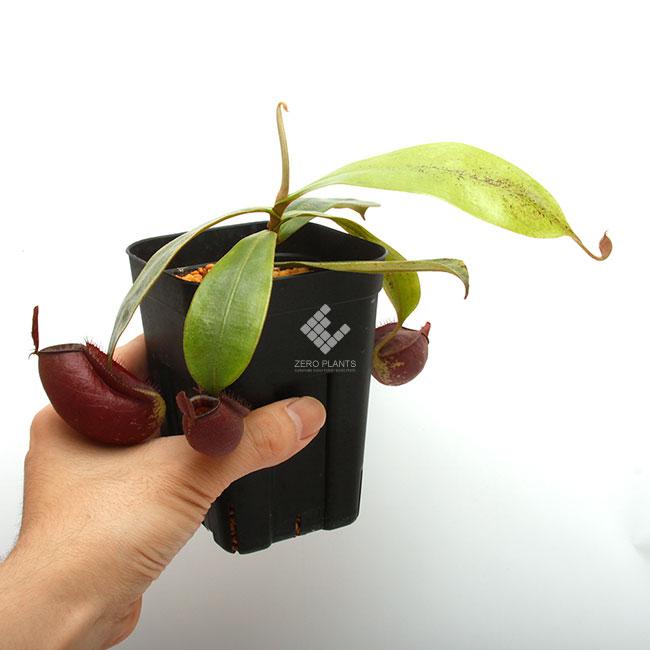 """Nepenthes ampullaria """" BLACK """" [ ネペンテス・アンプラリア """"ブラック"""" ] 【 PN190619-05 】"""