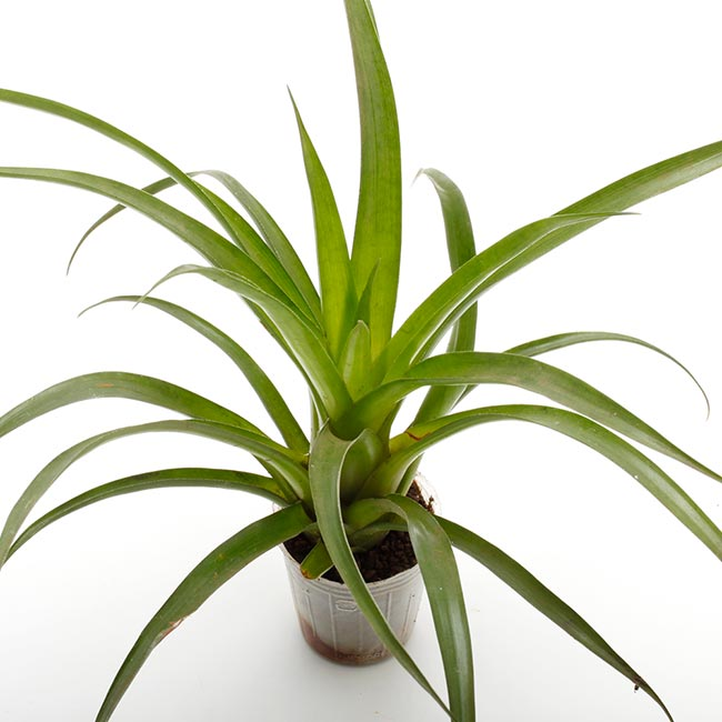 Vriesea astrid [ フリーセア・アストリッド ] 1ポット 【 パルダリウム、ビバリウムに使いやすい植物 】