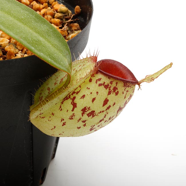 """Nepenthes ampullaria """" Spotted with Red Lip """"  [ ネペンテス・アンプラリア ] 【 PN200603-09 】"""