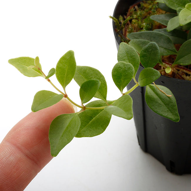 Medinilla ovalifolia?/ KSB [ メディニラ・オバリフォリア ] 【 PN210704-08 】