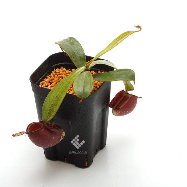 """Nepenthes ampullaria """" BLACK """" [ ネペンテス・アンプラリア """"ブラック"""" ] 【 PN190619-06 】"""