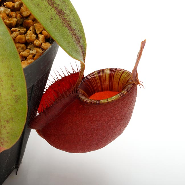 "Nepenthes mirabilis var. globosa × ampullaria "" Black miracle "" [ ネペンテス・ミラビリス var. グロボサ × アンプラリア "" ブラックミラクル "" ] 【 PN200603-10 】"