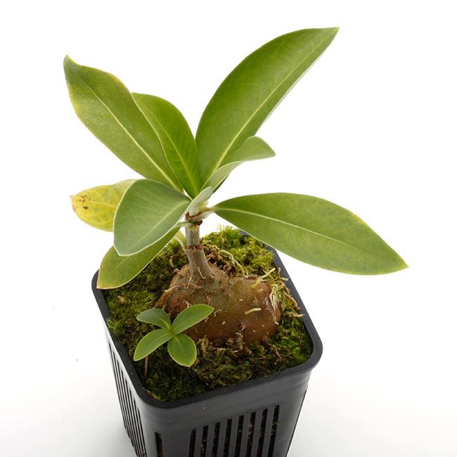 Anthorrhiza bracteosa ' Normanby ' [ アントルリザ・ブラクテオサ ] 【 PN210506-07 】 【 パプアニューギニア固有種となるアリダマ第5属目!! 】