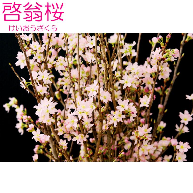 啓翁桜(80�×8本)
